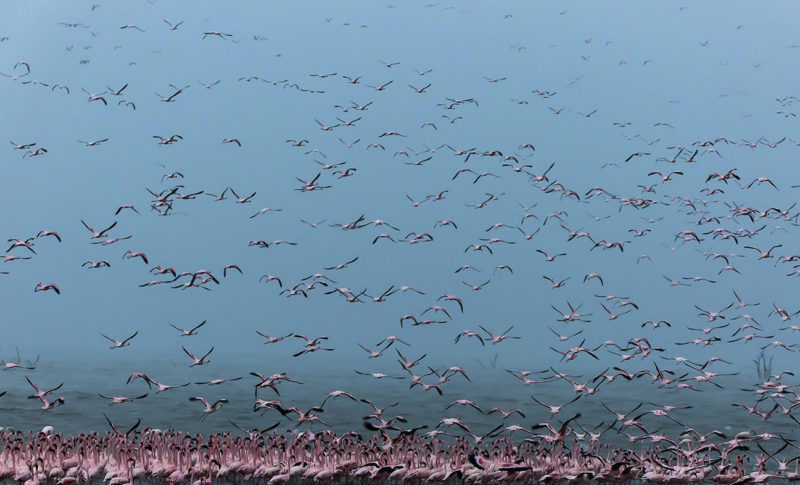 Flying flamingoes fill the frame of wildlife photographer Clement Kiragu