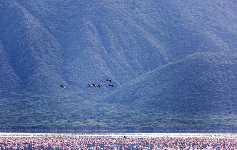 Flamingo Migration in Kenyas Lake Bogoria captured by Clement Kiragu