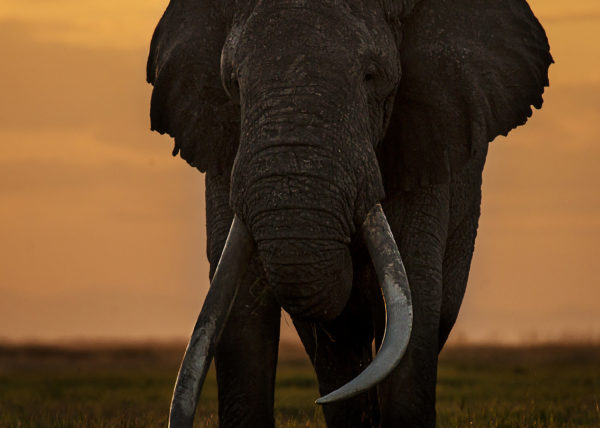 A full frame photo of Tim the elephant with huge tusks in Kenyan Amboseli National park captured by Clement Kiragu
