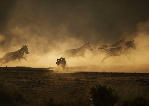 A lioness hunts zebras in a cloud of dust in Maasai Mara Kenya as captured by Clement Kiragu on his September photo safari
