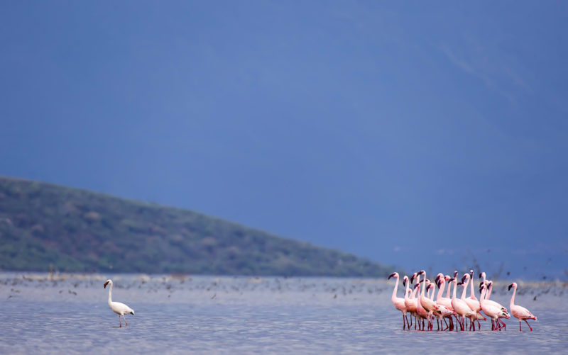 Group of flamingos seem to follow one flamingo