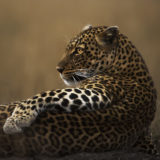 Beautiful leopard soaks up last warm rays of the setting sun in Maasai Mara as captured by Clement Kiragu on safari