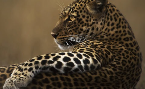 Beautiful leopard soaks up last warm rays of the setting sun in Maasai Mara as captured by Clement Kiragu on safari