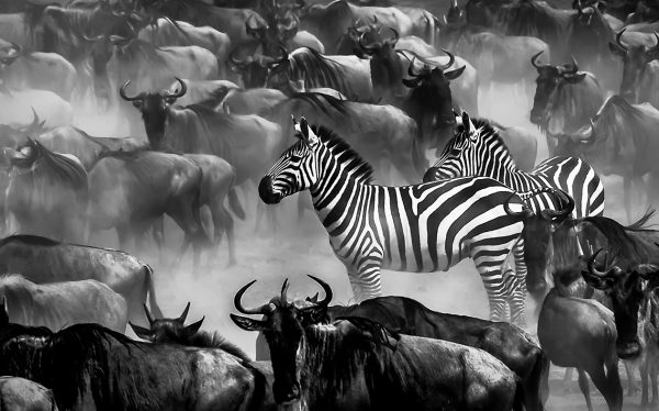 Two zebras surrounded by wildebeests at the Mara river during the annual great migration as captured by photo tour leader Clement Wild