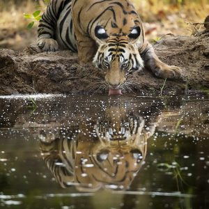 Reflection of a Tiger photographed in bandhavgarh India by Clement Wild