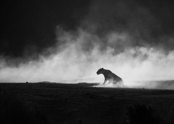 lioness in a cloud of dust photographed by wildlife photographer clement wild
