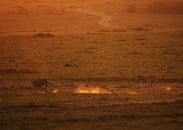 2 of the 5 Tano Bora / Fast Five hunt a rabbit in golden light in Maasai Mara on a ClementWild Photo Safari