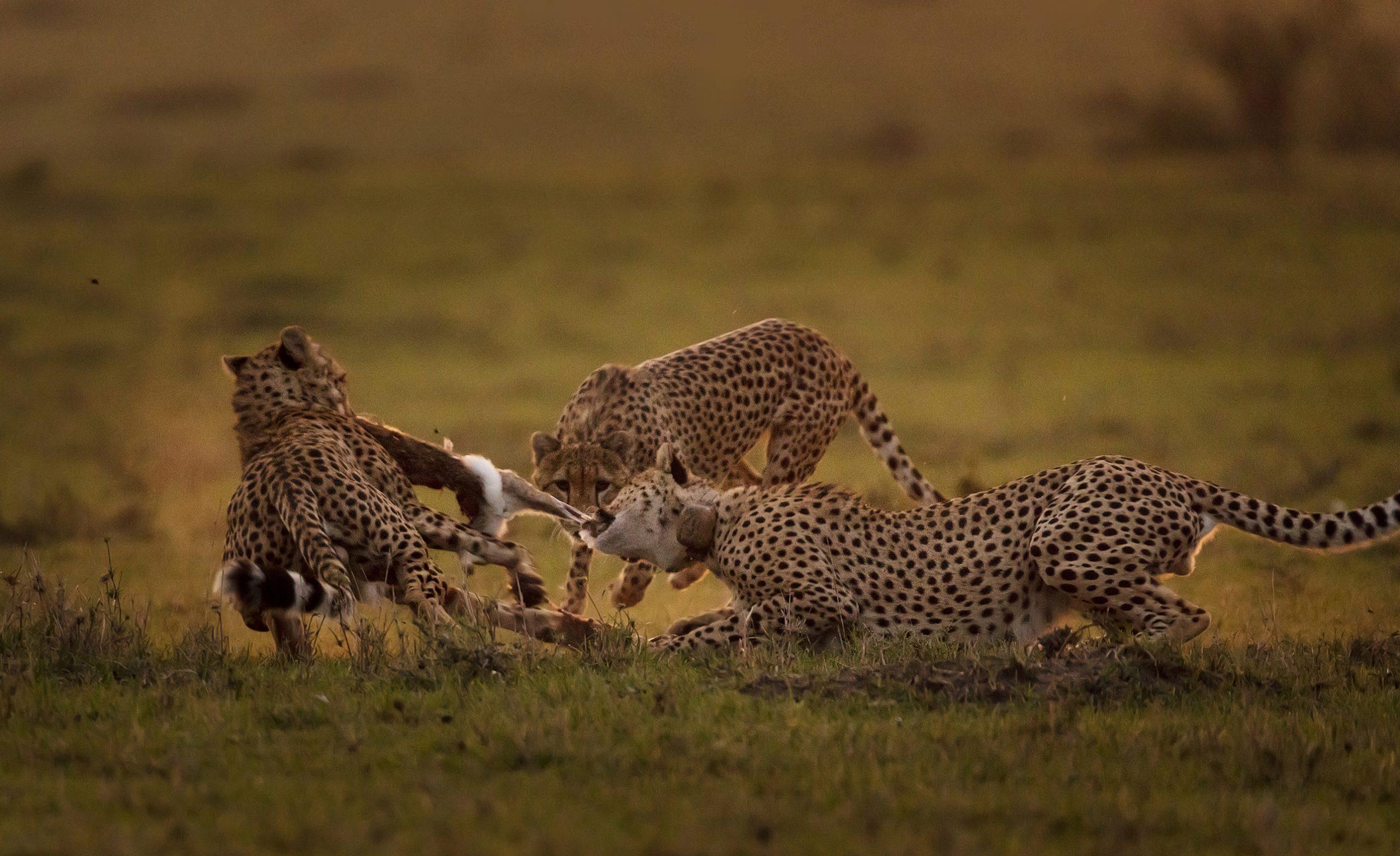 cheetahs tear apart a rabbit after hunting in Maasai Mara on a ClementWild Photo Safari