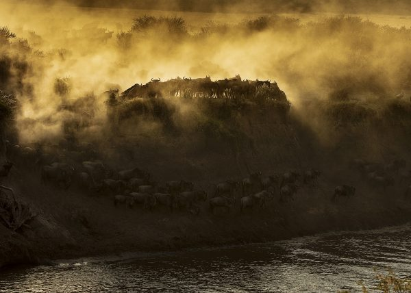 Dramatic wildebeest migration crossing in golden light in Maasai Mara on a ClementWild Photo Safari