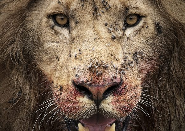 Lion with bloody face after feeding in Maasai Mara on a ClementWild Photo Safari