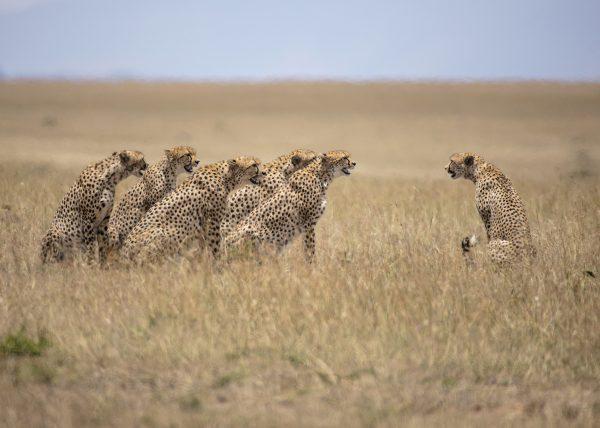 The 5 Male coalition called Tano Bora / Fast 5 try and mate with Malaika in Maasai Mara on a ClementWild Photo Safari