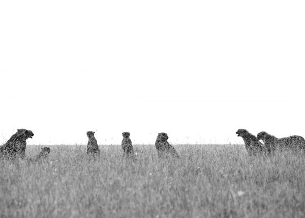 Eight Cheetahs in one frame in Maasai Mara on a ClementWild Photo Safari