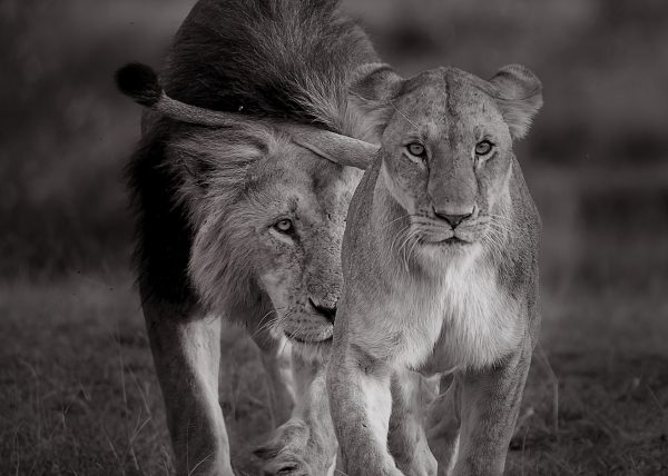 A lioness leads a male lion to show interests of mating