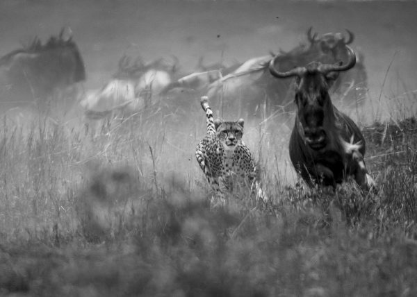 Malaika the Cheetah hunts a wildebeest in Maasai Mara in front of ClementWild guests