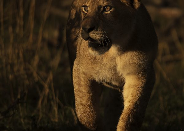 First Light on a lion cub in Maasai Mara on a ClementWild Photo Safari