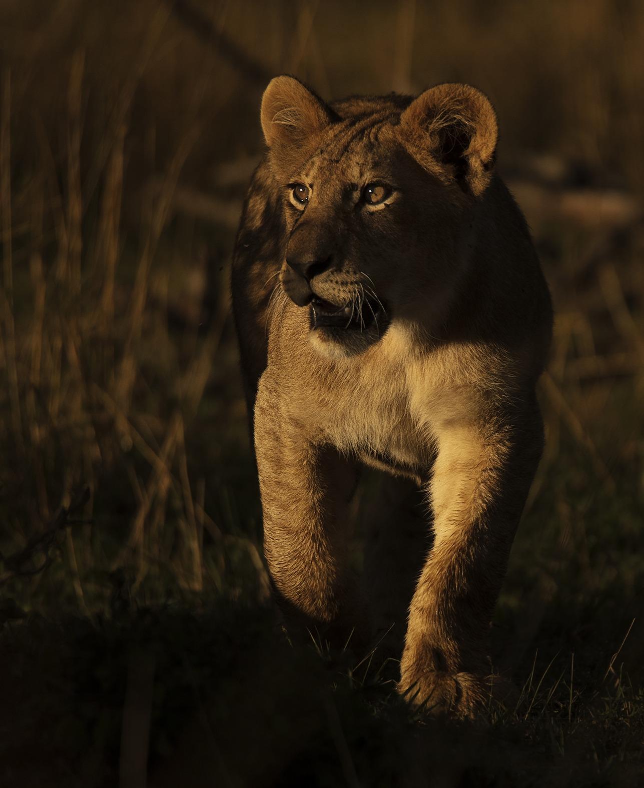 First Light on a lion cub in Maasai Mara on a ClementWild Photo Safari