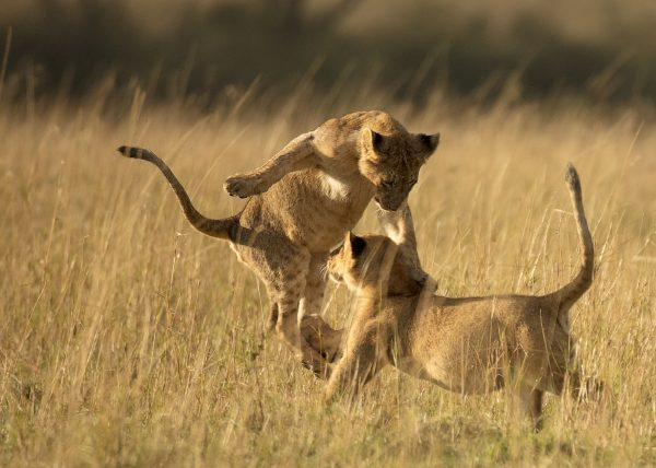 Cubs playing in Maasai Mara by ClementWild Photo Safaris