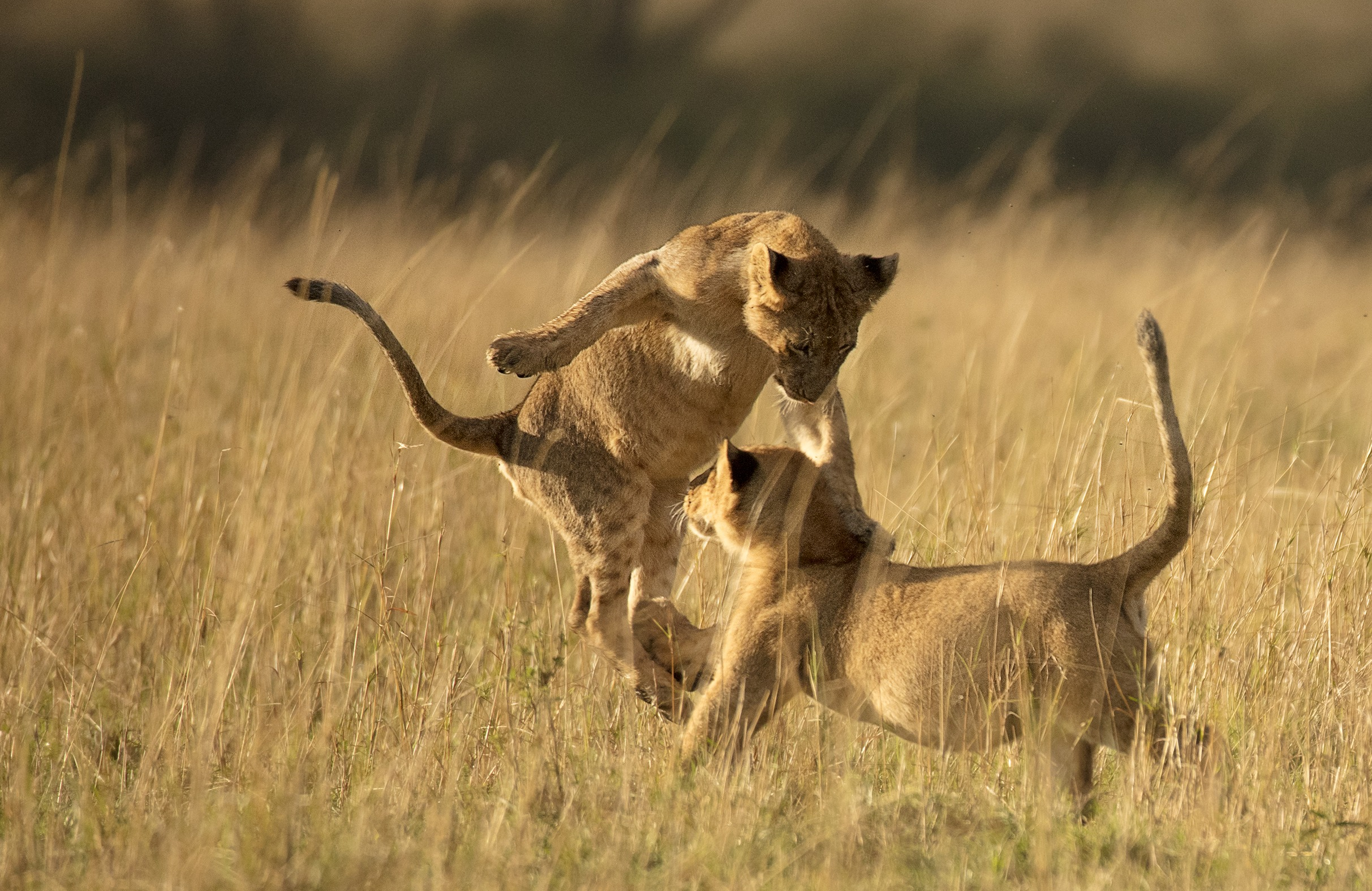 Cubs playing in Maasai Mara by ClementWild Photo Safaris