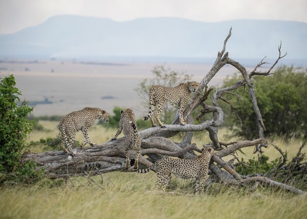 Fast Five / Tano Bora in Maasai Mara captured by Clement Kiragu