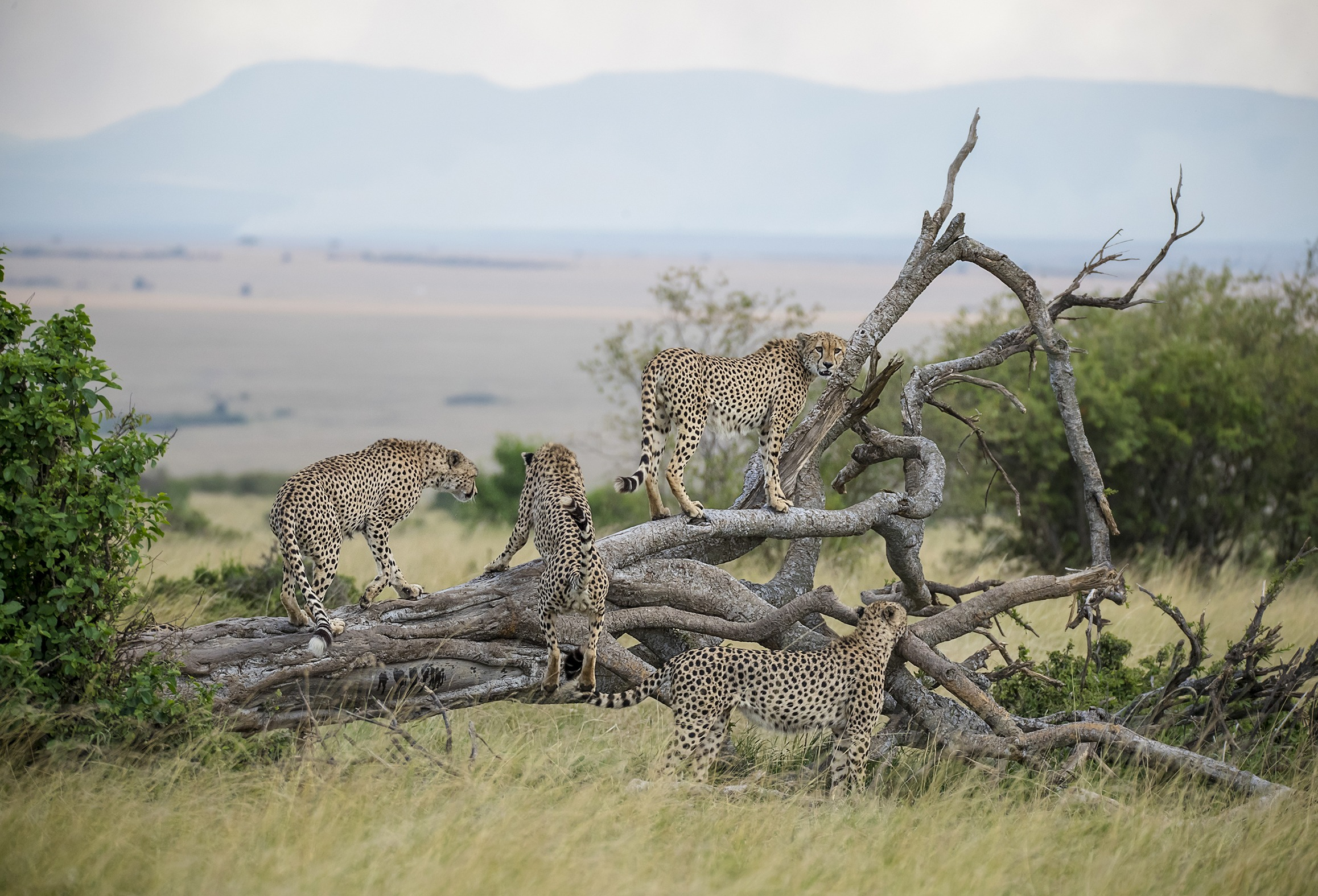 Fast Five / Tano Bora in Maasai Mara captured by Clement Kiragu