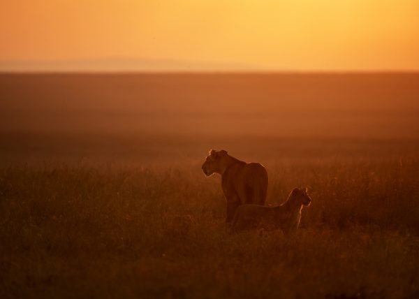 Lioness and her Cub Scout the plains of Maasai Mara in the first light of the day captured on a ClementWild photo safari