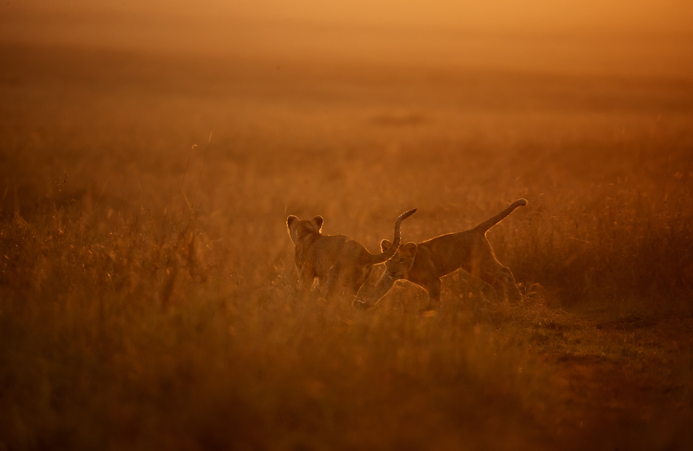 Two cubs play in golden hour in Maasai Mara