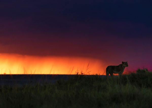 Lioness at sunset as photographed on a 2020 ClementWild migration photo safari