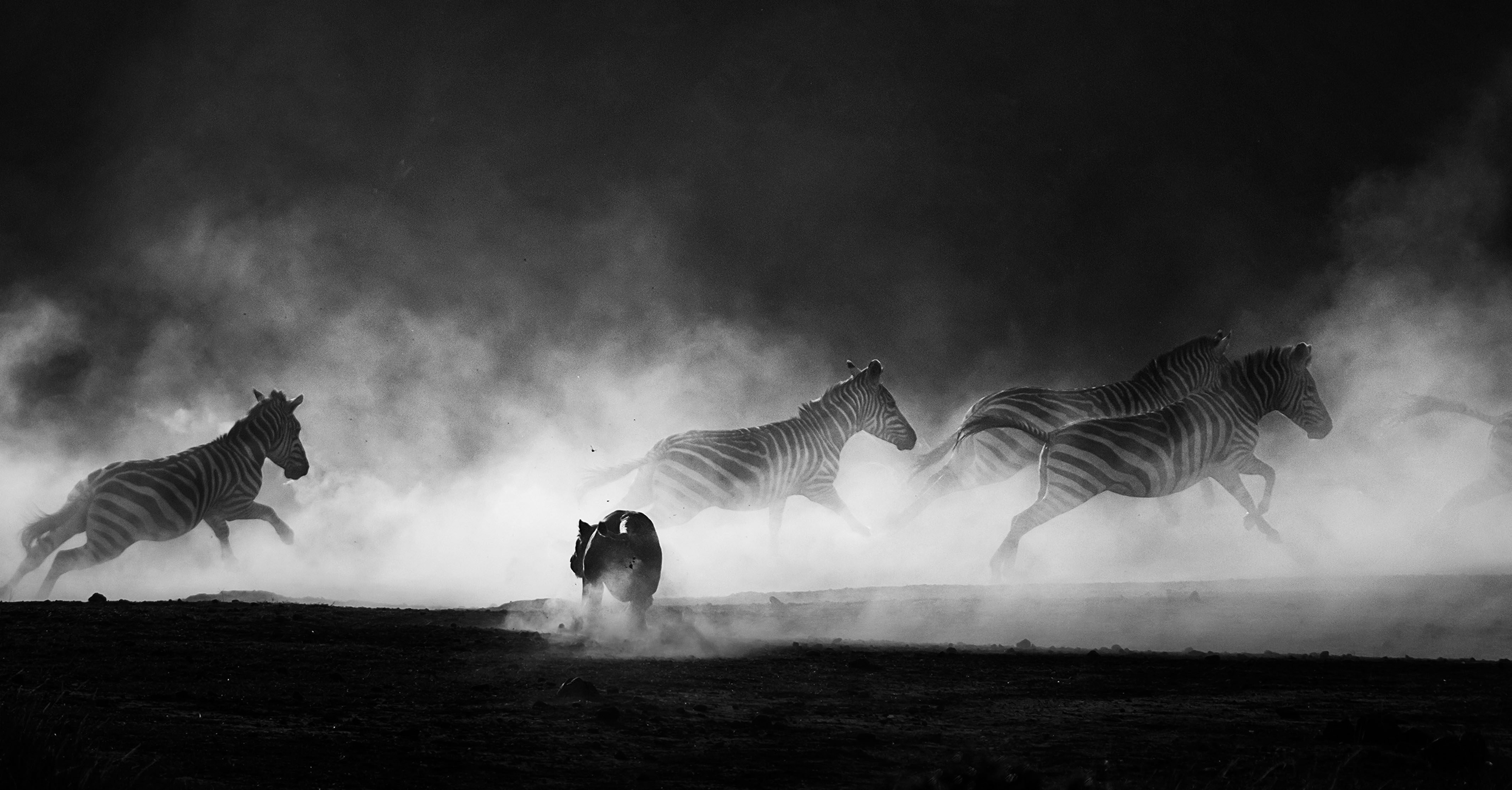 Lioness hunts zebras as a cloud of dust rises at sunset as captured by Clement Kiragu on a 2018 photo safari