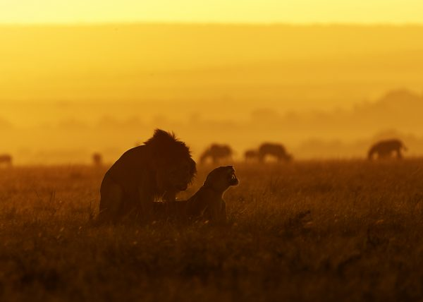 Lions mating in golden hour in Maasai Mara captured on a ClementWild photo safari