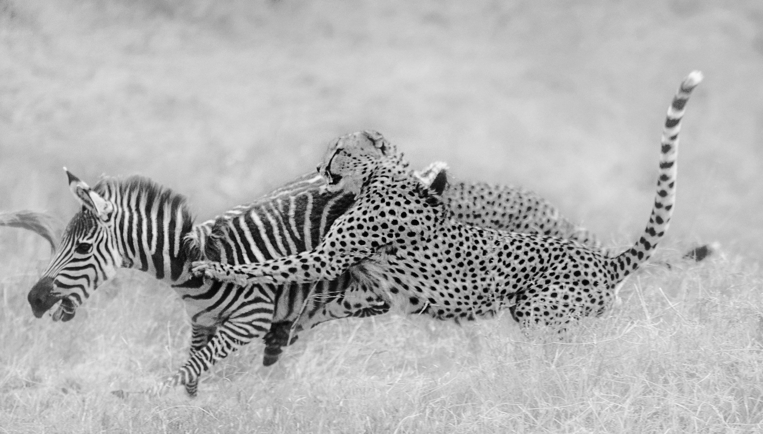 Tano Bora / Fast Five hunt a zebra during a ClementWild Photo Safari in Maasai Mara