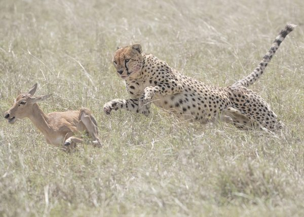 Member of the Fast Five/Tano Bora makes the final leap to hunt a baby Topi as captured by Clement Kiragu on photo safari