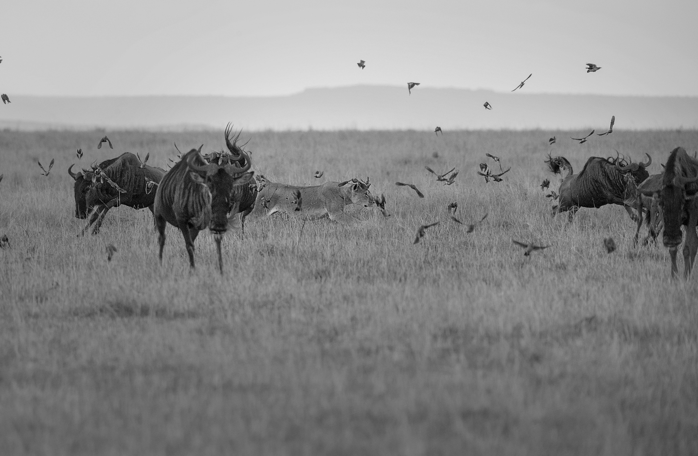 Lioness launches a hunt in Maasai Mara captured on Photo Safari with ClementWild