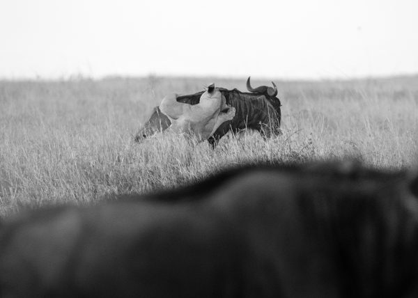 Lioness hunting Wildebeests in Mara captured by Clement Kiragu