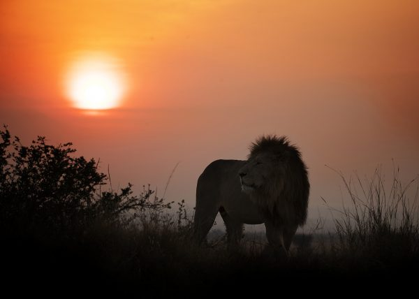 Lion King at sunrise in Maasai Mara captured during ClementWild Photo Safari