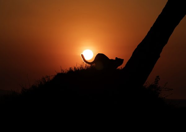 Cheetahs tail around the rising sun as photographed by Clement Wild
