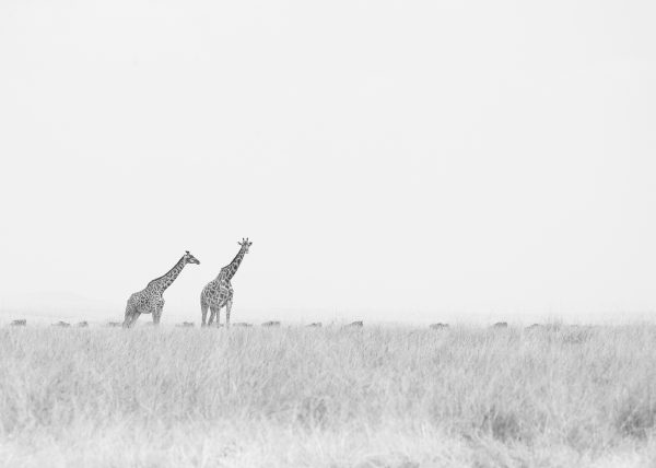 Giraffes stand tall as the wildebeest continue on their journey in search of fresher pastures as captured by Clement Kiragu on photo safar