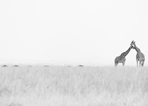 Giraffes stand tall in the savannah as photographed by ClementWIld