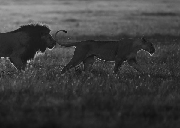 Lion follows lioness during mating ritual as captured by ClementWild in Maasai Mara
