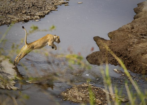 Lioness jumps across a river photographed while on photo safari with Clement Kiragu