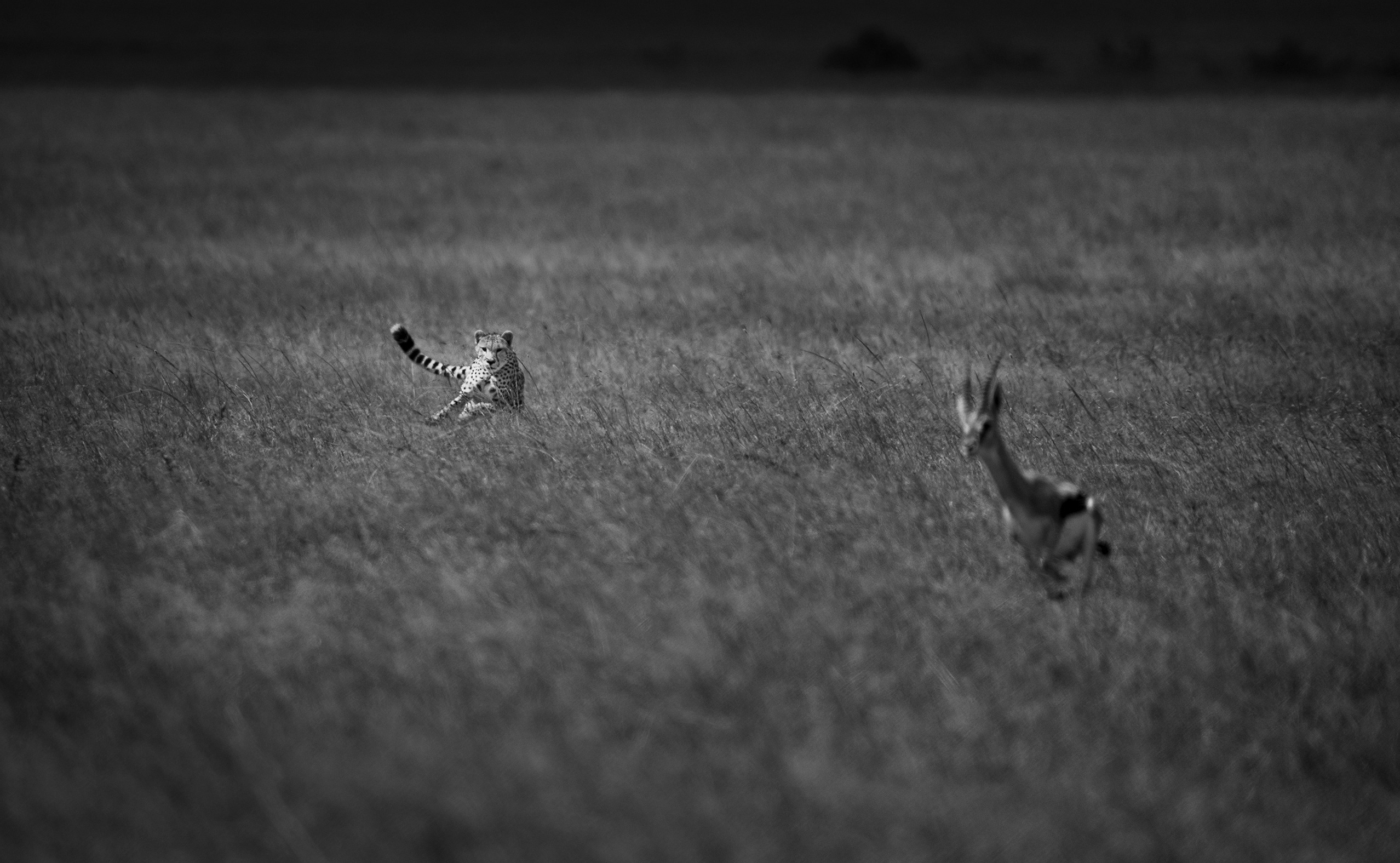 Cheetah on the hunt as photographer by Clement Kiragu