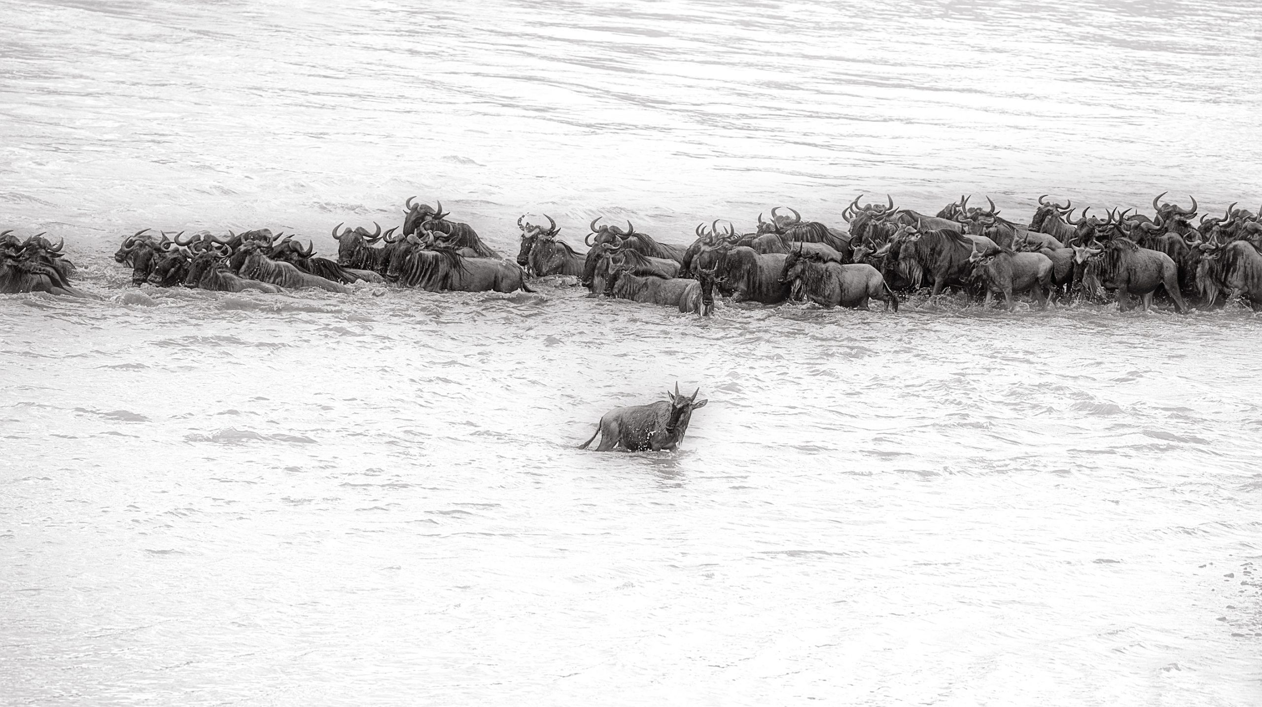 Wildebeest goes opposite side of the rest of the herd in Mara Rivers crossing