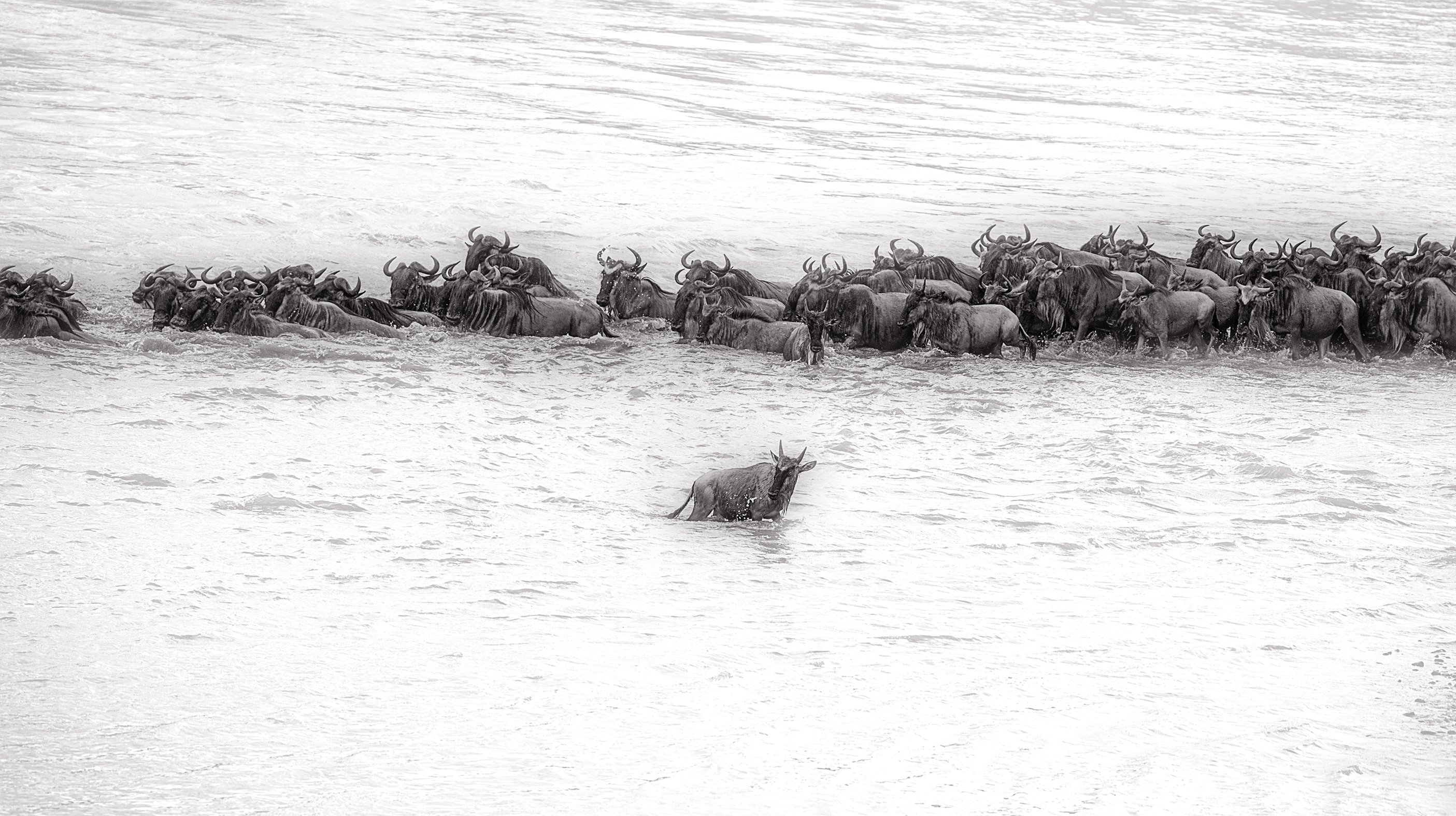 Wildebeest goes opposite side of the rest of the herd in Mara Rivers crossing
