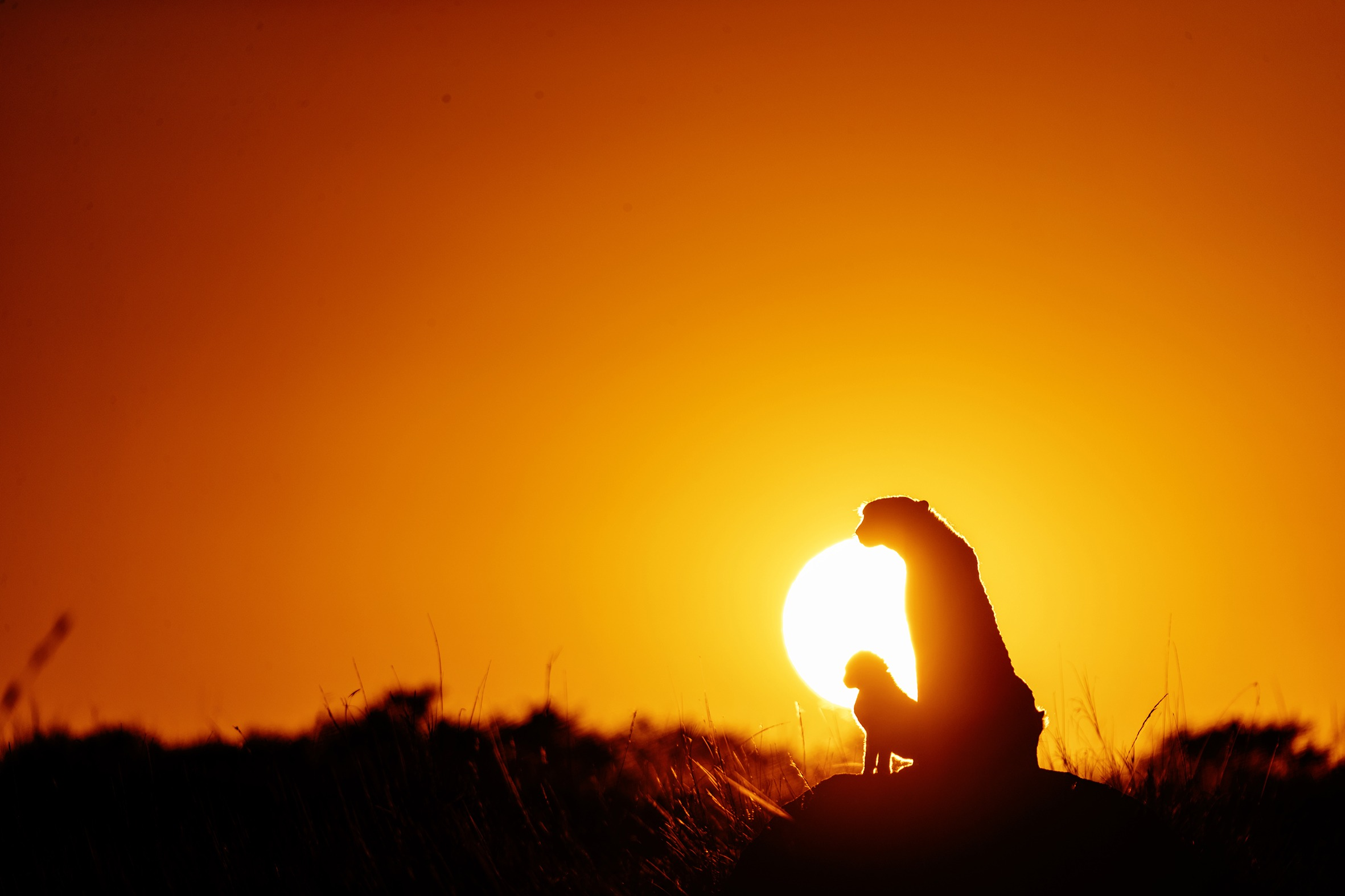 Kweli the cheetah stands on a mount at sunrise with her 2 cubs as captured by ClementWild on photo safari